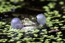 Quakender Frosch