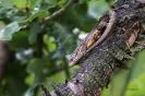 Zauneidechse auf Stamm