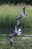 Fischadler kämpfen um einen Fisch