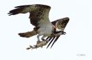 Fischadler -Karpfen im Griff-