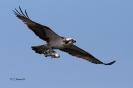 Fischadler bringt Fisch zum Horst