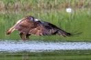 Fischadler hebt ab