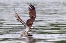 Fischadler jagd im Regen