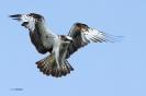 Fischadler rüttelt 1