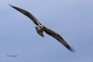 Fischadler segelt