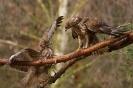 2 Mäusebussarde - Einer zuviel