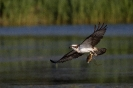 Fischadler jagd im Abendlicht