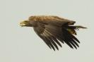 rufender Seeadler mit Ring