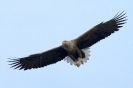 Seeadler-Flug