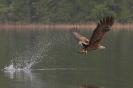 Seeadler auf Aalfang
