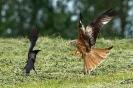 Rotmilan attackiert Krähe