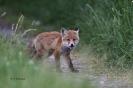 Fuchsiger Fuchs