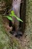 Junger Waschbär in der Baumhöhle