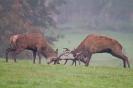 Machtkampf der Hirsche