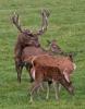 Rothirsch-Paarung