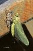 Libellen-Häutung
