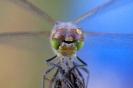 Libellen-Kopf