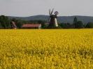 Rapsfeld mit Windmühle