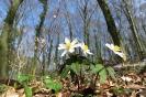 Buschwindröschen im lichten Wald