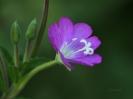 Lila Blütenkelch