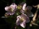 violette Brombeerblüten