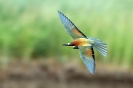 Bienenfresser im Flug