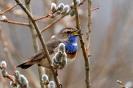 Blaukehlchen im Weidenbusch