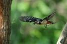 Buntspecht fliegend