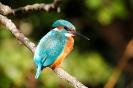 Eisvogel-Weibchen