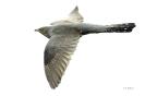 Fliegender Kuckuck