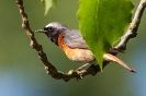 Gartenrotschwanz-Männchen