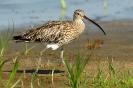 Großer Brachvogel 1