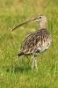 Großer Brachvogel 2