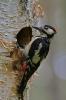 Buntspecht (Weibchen)