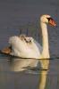 Höckerschwan mit Jungen huckepack