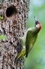 Vogel des Jahres 2014: Grünspecht